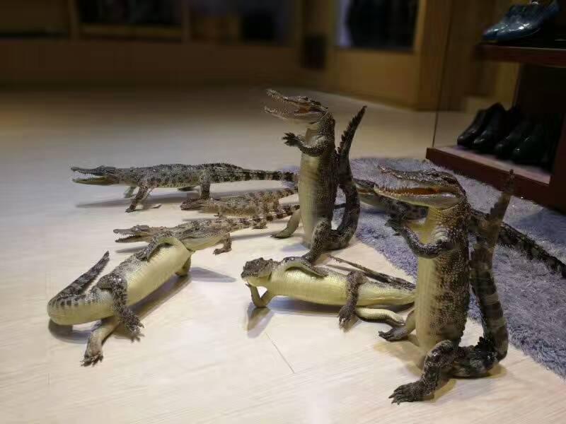 琼海市鳄鱼骨皮表带制作