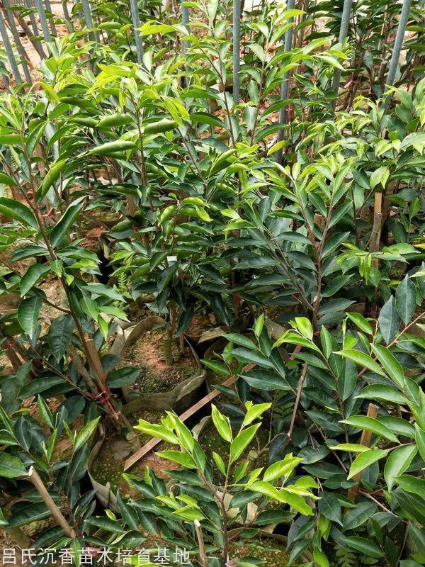 奇楠樹圖片