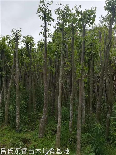 5-6公分沉香树