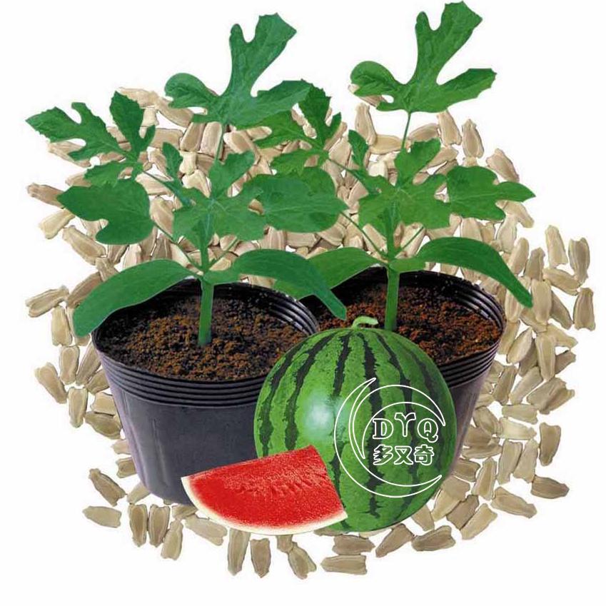 大小西瓜嫁接砧木种子