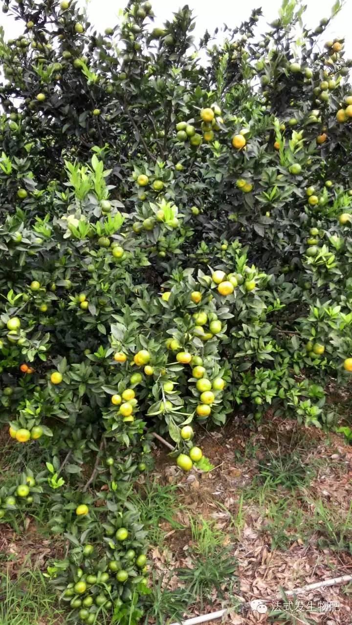 柑橘试点基地展示