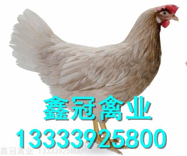 海兰灰竞博官网鸡