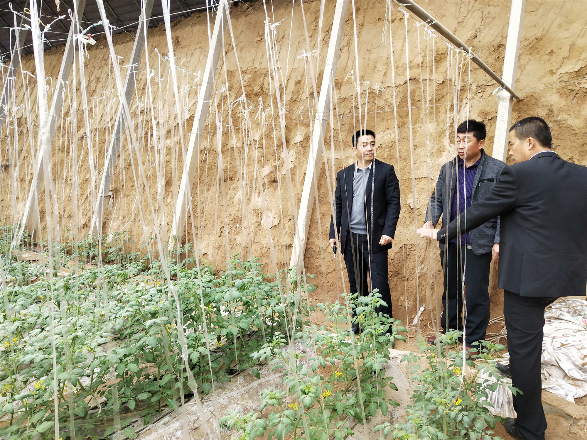 调研西红柿种植