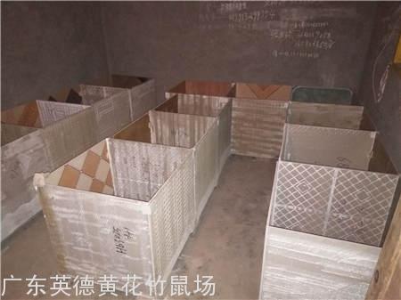 深圳竹鼠养殖