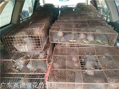 广州商品竹鼠