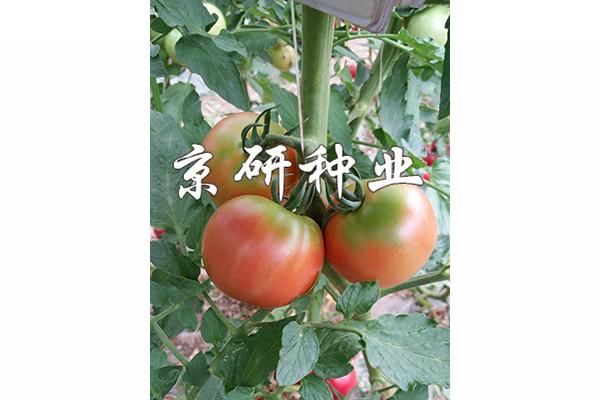 京番302番茄种子|绿肩番茄种子 酸甜可口 西红柿种子 京研番茄籽
